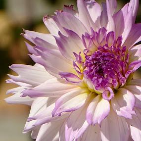 Dahlia by Ramade Genevieve - Flowers Flower Gardens (  )