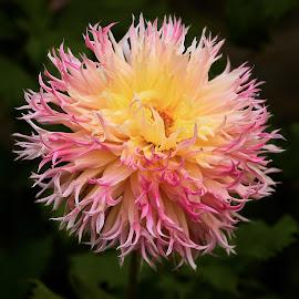 Dahlia 8703~ by Raphael RaCcoon - Flowers Single Flower