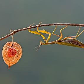 European Mantis by Simon Kovacic - Animals Insects & Spiders ( mantis religiosa, european mantis, praying mantis,  )