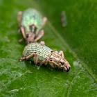 Broad-nosed Weevils