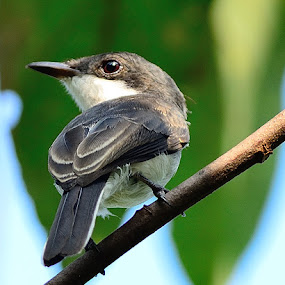 Black-winged Flycatcher by Azmi Jailani - Animals Birds