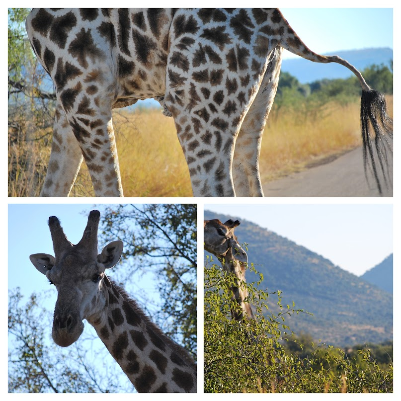 "Ivory Tree Game Lodge, Pilanesberg National Park, Johannesburg, South Africa, Wild Life gaming, giraffe"" class="