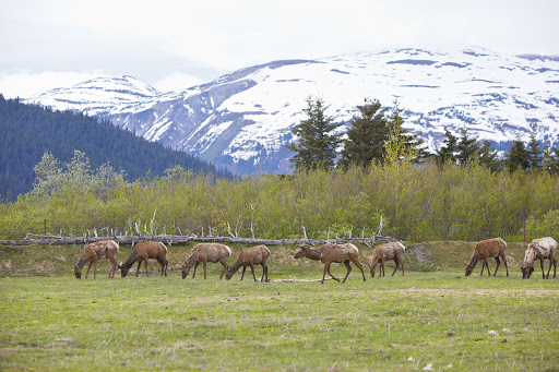 Juneau-Wildlife-Refuge-moose.jpg - See the Mendenhall Wetlands State Game Refuge in Juneau, Alaska, during an excursion on Regent Seven Seas Cruises.