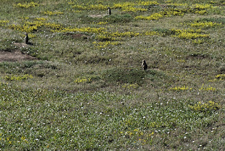 Photo: Prairie dogs  are mostly herbivorous burrowing rodents native to the grasslands of North America. The five different species of prairie dogs are: black-tailed, white-tailed, Gunnison's, Utah, and Mexican prairie dogs. They are a type of ground squirrel, found in the U. S., Canada and Mexico. Those in North Dakota are black-tailed prairie dogs.