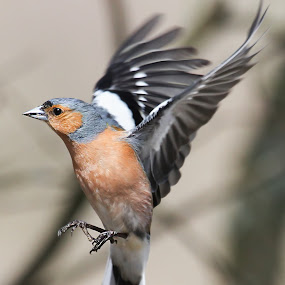 Caught in Flight by Kenny Routledge - Animals Birds ( flight, dumfries and galloway, chaffinch, garden birds, hover, kenny routledge, birds )