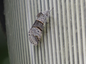 Photo: 2 Jul 13 Middle Pool: The Poplar Kitten on a lamp at Middle Pool: hard to separate from Sallow Kitten but generally larger. The strength and width of the dark band at the rear of the grey bar is the best clue. (Ed Wilson)