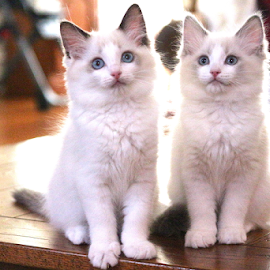 Rag doll Kittens by Barbara Suggs - Animals - Cats Kittens