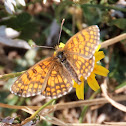 (Meadow?) Fritillary