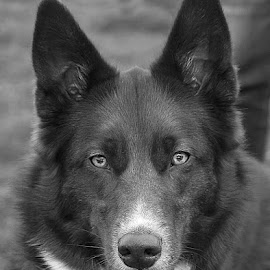 Radley in Mono by Chrissie Barrow - Black & White Animals ( monochrome, black and white, portarit, eyes, border collie, pet, husky, ears, fur, grey, dog, crossbreed, nose, mono, animal )