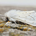 Agreeable Tiger Moth - 8134