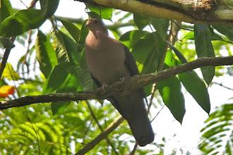 Photo: Short-billed Pigeon