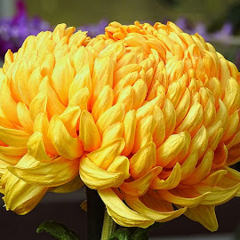 Chrysanthemum by Mary Gallo - Flowers Single Flower ( chrysanthemum, nature, nature up close, flower,  )