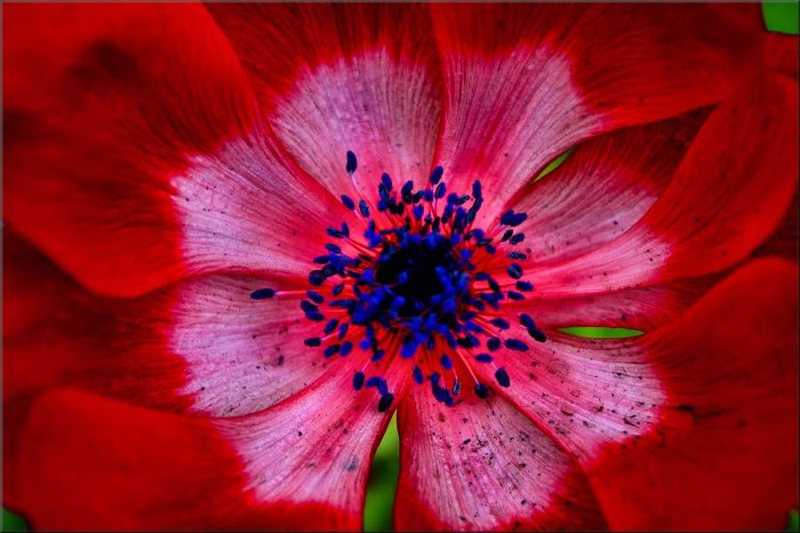 close up by Nic Scott - Flowers Single Flower ( red flower, close up flower, close up, flower,  )