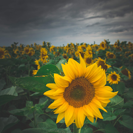 Sunflowers in the storm by Luka Balković - Flowers Flowers in the Wild ( close up, macro, big, green leaves, storm, nature, seeds, yellow, yellow flower, sunflowers, sunflower, summer, beautiful flower, agriculture, croatia, stormy sky, field, agricultural, europe )