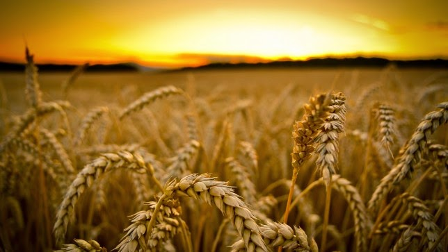 Why Is Wheat Such A Problem In The Modern Diet?