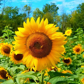 Sunflower 1 by Vijay Govender - Flowers Flowers in the Wild