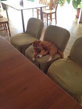 Photo: Bauskan hotellissa aamupalalla, ravintolassa makoili kissa tyynen tylysti tuolilla! Ihme ettei se mennyt syömään aamupalojamme, jotka oli viereisessä pöydässä tarjolla meille.