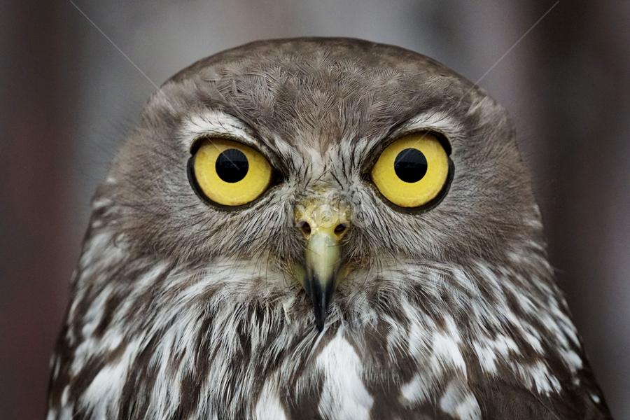 The Oz owl by Zack G - Animals Birds ( bird, australia, owl, wildlife, animal, eye )