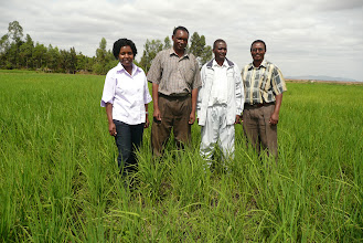 Photo: Farmers and researchers in SRI field in Kenya [Photo Courtesy of Bancy Mati]