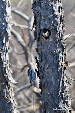 Photo: Chickadees readying their nest