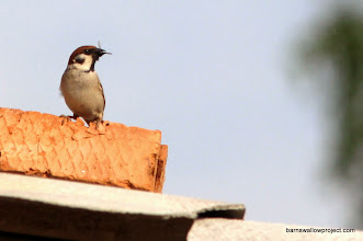 Photo: Barn swallow enemy number 1: House Sparrow, with a morsel