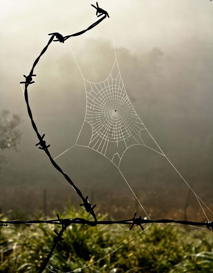 Simple and practical by Marcio Arrebola - Animals Insects & Spiders ( nature, barbed wire, spider, web )