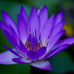 lotus (1 of 1)-2.jpg