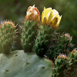 FAMILY by Wojtylak Maria - Flowers Flower Buds ( flowers, unblossomed, cactus, cream, buds,  )