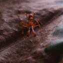 Weaver ant mimic spider