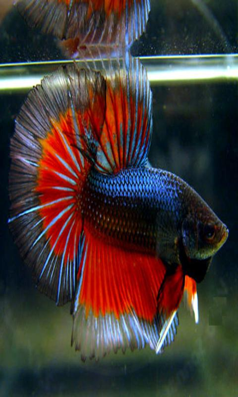 Betta splendens android apps on google play for Siamese fighting fish crossword