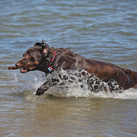 Flat Coat Retriever by David Parkin - Animals - Dogs Playing ( water, retriever, dogs, splashing, splash, flat-coated retriever, dog )