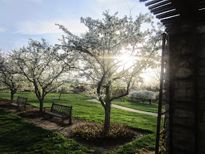 Photo: Sunlight striking against white apple blossoms at Crab Apple Alley in Cox Arboretum and Gardens Metropark at Dayton, Ohio.