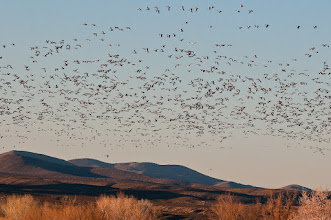 Photo: About 20 minutes before sundown, a huge wave of snow geese started to fly in to the Bosque.