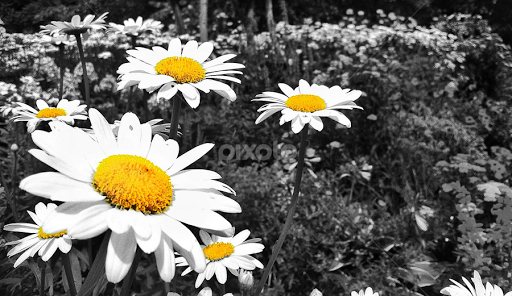 Black White Daisy By Ashley Mccuen Nature Up Close Flowers 2011 2018 Pixoto And Color Splash