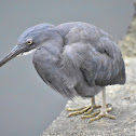 Pacific Reef Heron ( बकुल्ला )