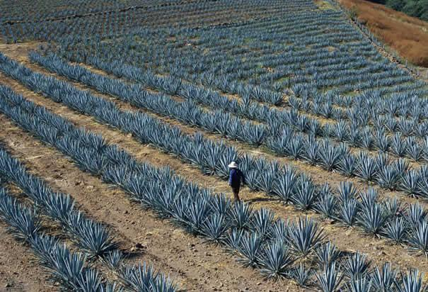 http://www.history.com/images/media/slideshow/jalisco-mexico/jalisco-agave-field.jpg