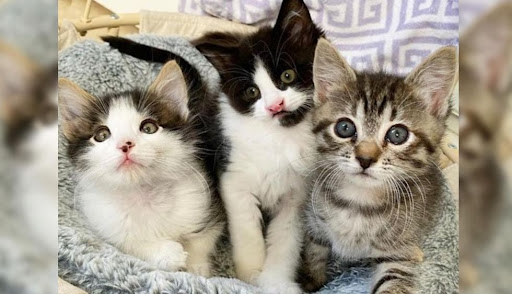 Family Went to Adopt Kittens and Couldn't Separate These Three with Unbreakable Bond