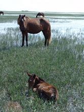Photo: Feral Horses Image courtesy Rachel Carson Reserve