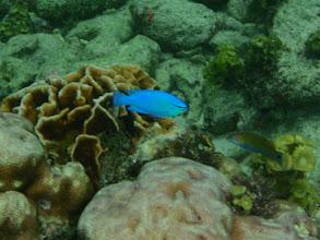 Photo: Chrysiptera cyanea (Blue Damselfish), Siquijor Island, Philippines