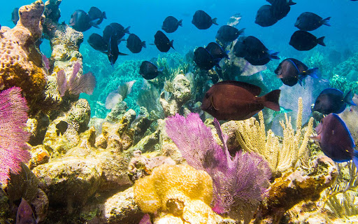 bonaire-coral-reef-fish.jpg - Tropical fish swim in a coral reef in Bonaire.