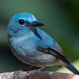Flycatcher by Pungut Luntar - Animals Birds ( bird, tokki, wild, nature, flycatcher, wildlife, pale-blue, malaysia, congkak, birds )
