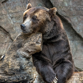 Lonely by Frank Barnitz - Animals Other Mammals ( despair, grizzly, vertical, bored, brown bear, lonely, animal,  )