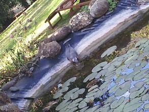 Photo: La colombe, les chats, les araignées d'eau... en varape ou sur la pointe des pattes, c'est à cette heure qu'ils aiment venir boire en bord de mare.