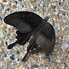 Red Helen Swallowtail
