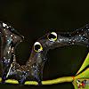 Fruit Piercing Moth Caterpillar