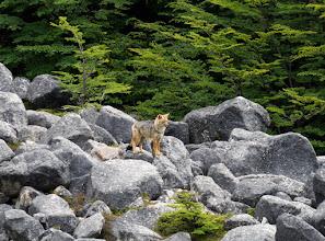 Photo: South American gray fox (Lycalopex griseus)