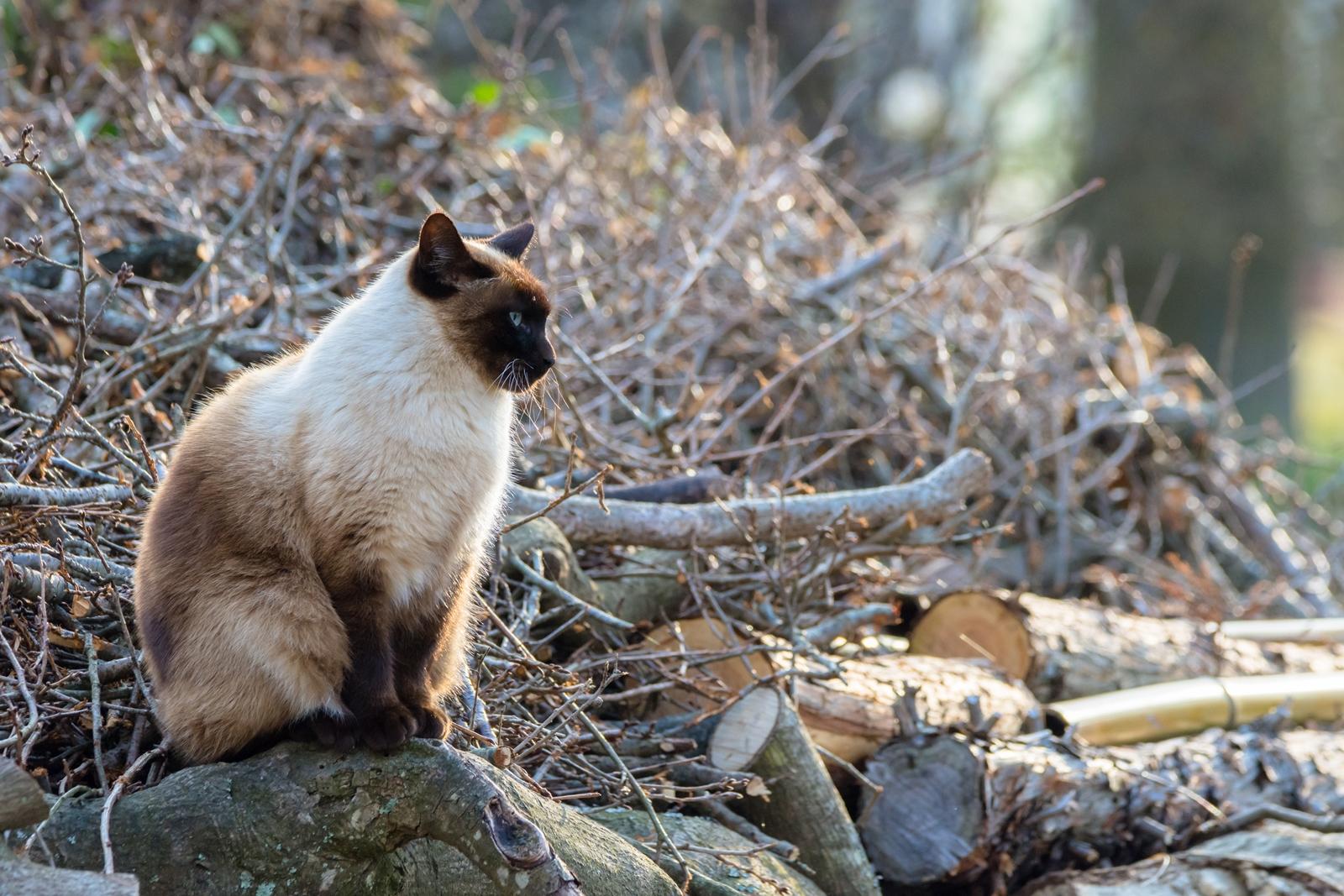 Photo: 「傍観者」 / Bystander.  じっと何を見ているの? 朝陽が照らす 穏やかな森で のんびりのんびり また今日が始まるね  Stray cat. (ノラ猫)  Nikon D7200 SIGMA 150-600mm F5-6.3 DG OS HSM Contemporary  #cat #straycat  #kawaii #nikon #sigma #木曜ポートニャート  ( http://takafumiooshio.com/archives/1308 )