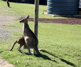Photo: Year 2 Day 168 -  Kangaroos at Potato Point Caravan Park #6