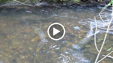 Video: Chum spawning in Fergus Creek