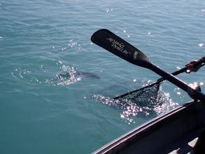 Photo: Netting a Alaskan Kenai rainbow underneath the paddle of a drift boat oar.